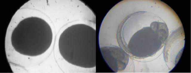 Fotos tiradas com meu primeiro microscópio de brinquedo evidenciando estágios de desenvolvimento dos ovinhos dos meus peixes Betta de estimação :)